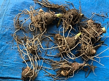 海老芋は土壌からたくさんの養分を吸収する。