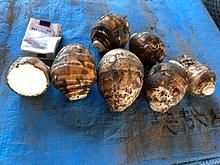 海老芋畑にセラミックを活用した結果